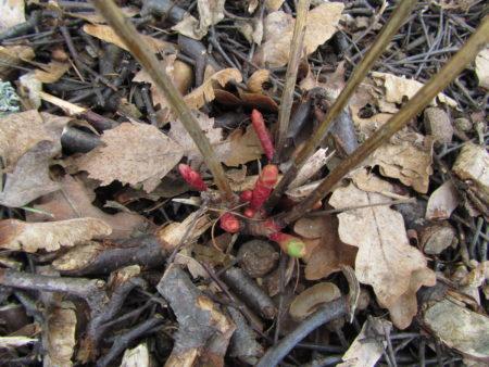 Kultatyräkin versot huhtikuussa