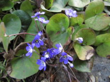 Sinivuokko kukkii