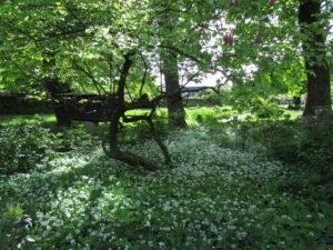Karhunlaukka kasvaa Plečnikin talon puutarhassa
