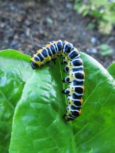 Hyönteisen toukka 'Atico' salaatilla