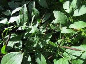 Kevätlinnunherneen siemenet kypsyvät