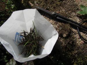 Kevätlinnunherneen siemeniä