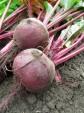Sato säilöön: balsamicopunajuuret