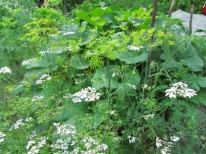 Tilli ja korianteri kukassa
