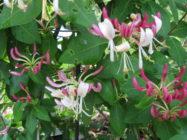 Köynnöskuusama kukkii