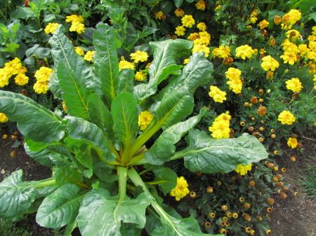 Mangoldi koristekasvina