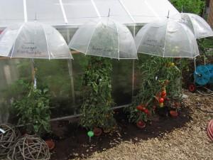 Innovatiivinen suoja tomaateille