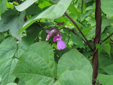Salkopapu 'Cosse Violet' kukkii
