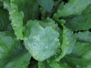 Salaatti 'Saladin'
