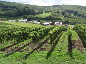Viiniköynnöksiä Heppenheimin lähellä