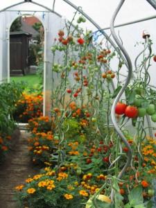 Tomaatteja anopin kasvihuoneessa