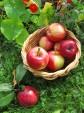 Palstalta pöytään: porkkanat ja omenat samassa kattilassa
