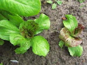 Sikurisalaatin taimia (Cichorium intybus) 'Variegato di Chioggia'