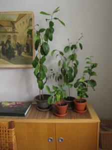 Sitruuna huonekasvina