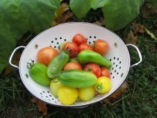Syksyistä tomaattisatoa