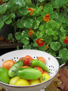 Tomaattisatoa