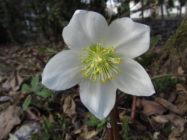 Jouluruusun kukka huhtikuussa