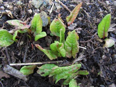 Suolaheinän keväisiä versoja