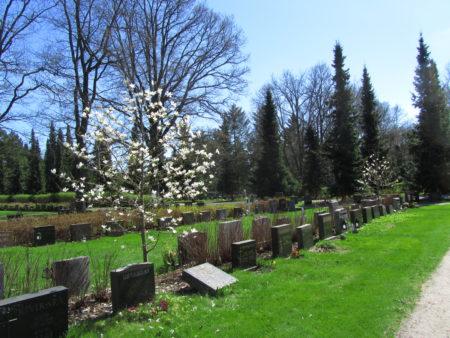 Magnolia kukkii hautausmaalla