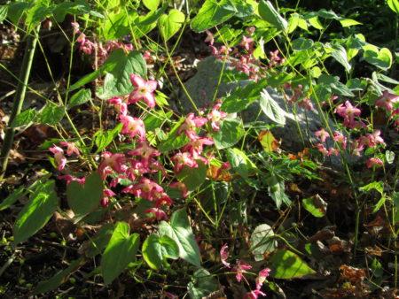 Tarhavarjohiippa kukkii