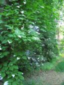 Metsäpuutarhan rehevyyttä