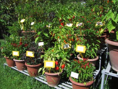 Chilejä Bolognan kasvitieteellisessä puutarhassa