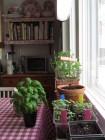 Viljelyä keittiön ikkunanlaudalla