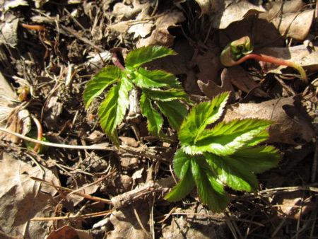 Ensimmäiset vuohenputken lehdet