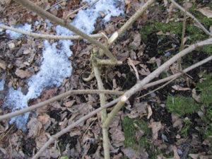 Mustaselja talven jäljiltä