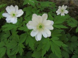 Valkovuokollamme on kerrotut kukat