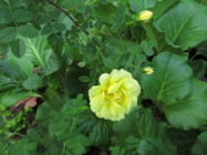 Ruusu 'William's Double Yellow'