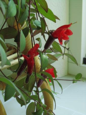 Soihtuköynnöksen kukat