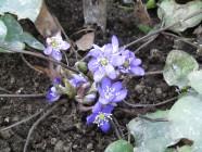 Keskikevään kukka: sinivuokko