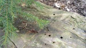 Lahopuuhin kuusen alla on kaiverrettu pieniä reikiä