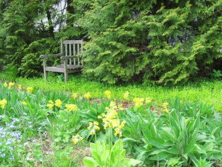 Kuvassa on keväinen niitty, jossa esikot ovat kukassa