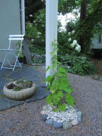 Kuvassa on viiniköynnöksen taimi, joka köyntelee ylös pergolan pystypalkkia pitkin