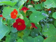 Kuvassa on hehkuvan punaisia ja oransseja koristekrassin kukkia kasvimaalla