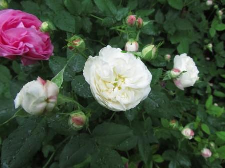 Ruusukesä