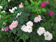Ruusut kukoistavat