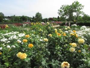 Ruusuistutuksia IGS Hampuri-Wilhelmsburgissa