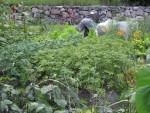 Loppukesä palstalla ja puutarhassa