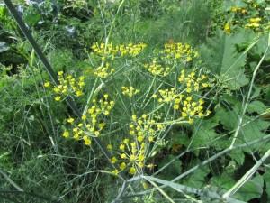 Maustefenkoli kukkii