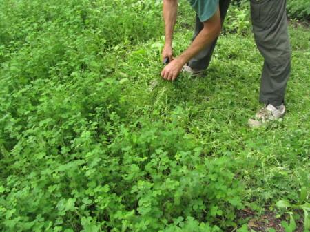 Viherlannoituskasvien leikkaaminen
