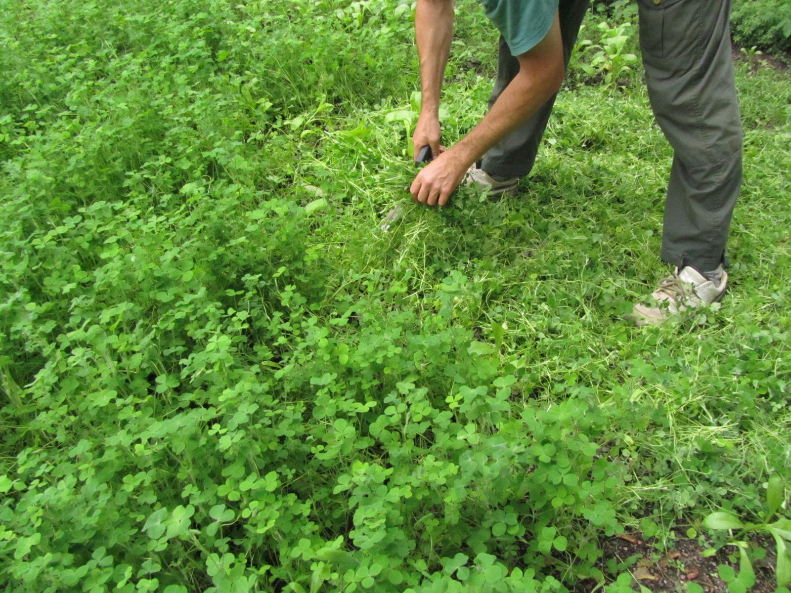 Viherlannoituskasvit