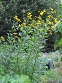 Maa-artisokka kukkii