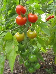 Avomaatomaatti 'Gardener's Delight'