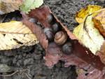 Töitä puutarhassa: etanoiden ja kotiloiden torjunta