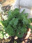 Lehtikaali 'Dwarf Green Curled'