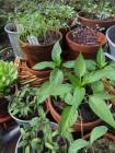 Esikasvatettuja taimia
