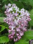 Pihasyreenin kaunis kukka